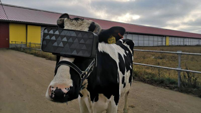 Krowa VR